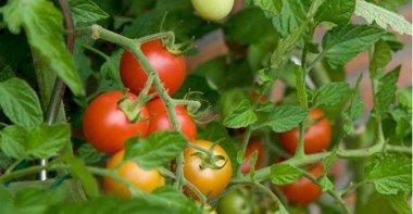 Tomatoes_NLmain