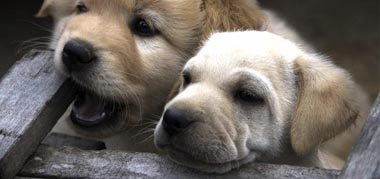 Puppies_NL