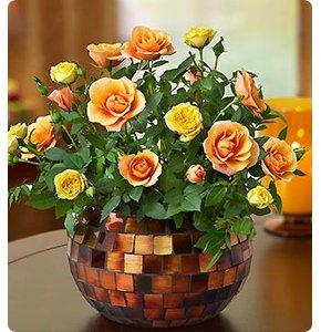 Autumn Essence Rose
