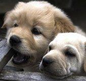 Puppies_NLsm