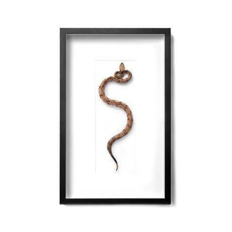 """Canebrake Rattlesnake // 20"""" x 32"""""""