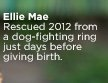 Ellie Mae - Rescued 2012 from a dog-fighting ring just days before giving birth.