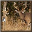 Buck Magnet Deer Decoy from TailTrick Deer Decoys™