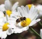 Honeybee_NLsm