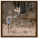 Total Attraction Deer Decoy from TailTrick Deer Decoys™