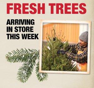 Fresh Trees Arriving in Store this Week