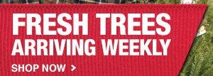 Fresh Trees Arriving Weekly