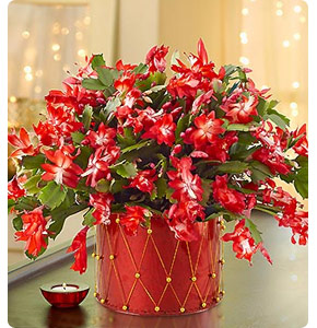 Christmas Cactus Shop Now
