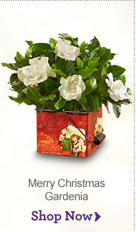 Merry Christmas Gardenia Shop Now