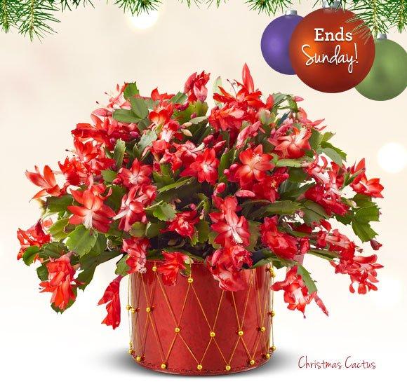 Christmas Cactus Shop Now