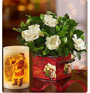 Merry Christmas Gardenia Shop Now