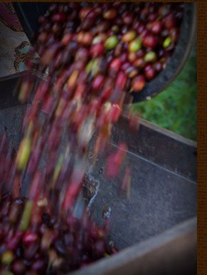 ONLINE EXCLUSIVE -- Sumatra Batak Peaberry