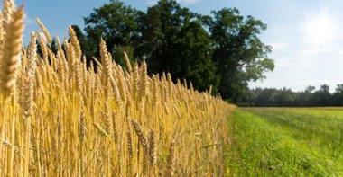 wheat-