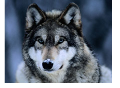Gray Wolf at the International Wolf Center Near Ely By: Joel Sartore
