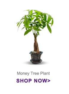 Money Tree Plant Shop Now