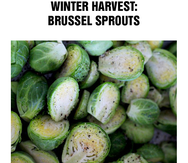 Winter Harvest: Brussel Sprouts