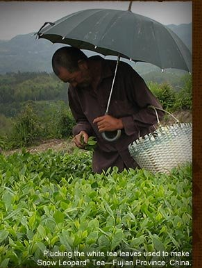 Plucking the white tea leaves used to make Snow Leopard® Tea—Fujian Province, China.