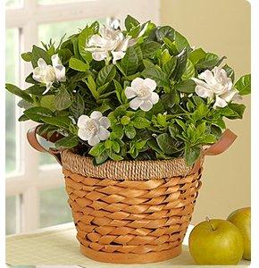 Blooming Gardenia Basket Shop Now