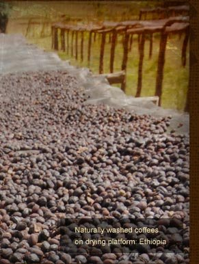 Naturally washed coffees on drying platform: Ethiopia