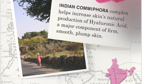 INDIAN COMMIPHORA complex helps increase skins natural production of Hyaluronic Acid a major component of firm smooth plump skin