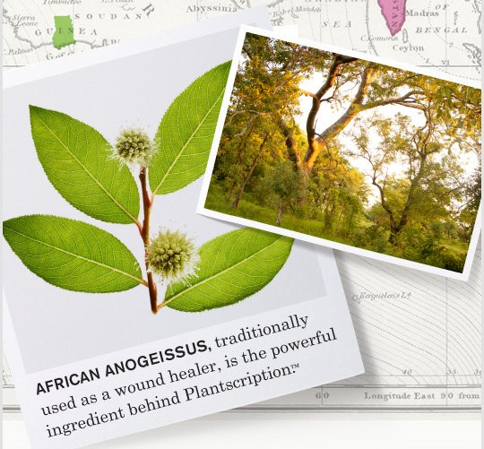 AFRICAN ANOGEISSUS traditionally used as a wound healer is the powerful ingredient behind Plantscription
