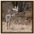 Total Attraction Deer Decoy from TailTrick Deer Decoys™