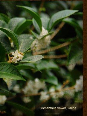 Osmanthus flower, China