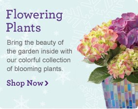 Flowering Plants Bring the beauty of the garden inside with our colorful collection of blooming plants.  Shop Now