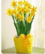 Delightful Daffodil Shop Now