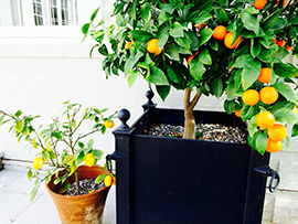 Orange & Lemon Trees