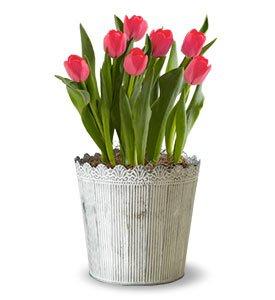 Spring Country Tulips Shop Now