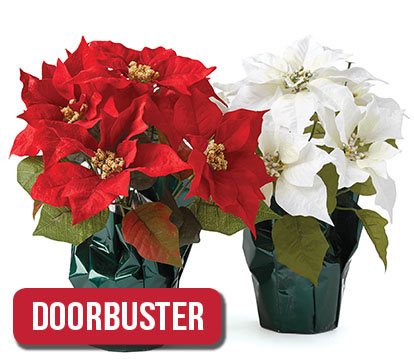 Potted Poinsettias.