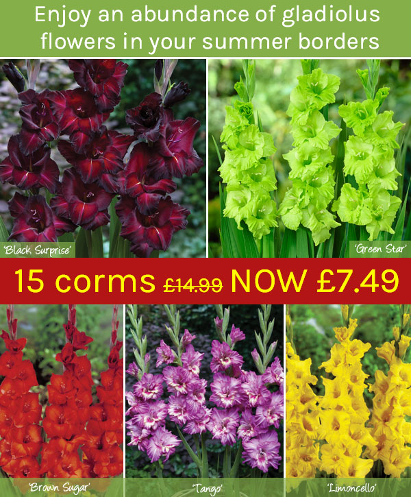 Gladiolus Collection - ONLY 7.49! HALF PRICE