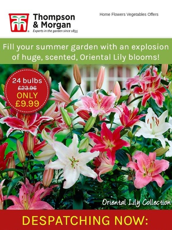 Whites and Yellows Oriental Lily Collection Hardy Colourful Tropical Flowers in Pinks 24 x Oriental Lily Collection Bulbs by Thompson and Morgan