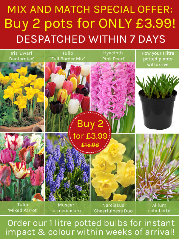 Thompson morgan instant spring colour 2 pots of spring flowers mix and match spring bulbs buy 2 for 399 mightylinksfo