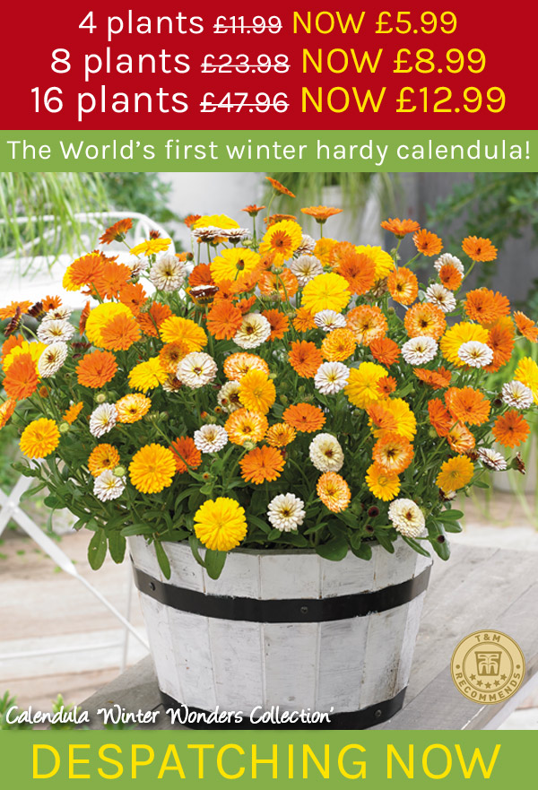 Calendula 'Winter Wonders Collection - from 5.99!