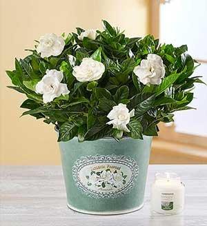 Graceful Gardenia SHOP NOW