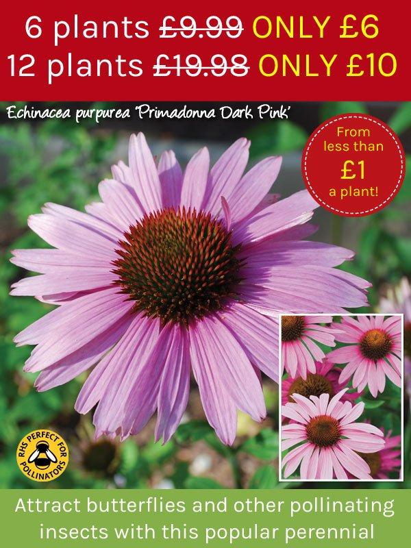 Echinacea purpurea 'Primadonna Dark Pink'
