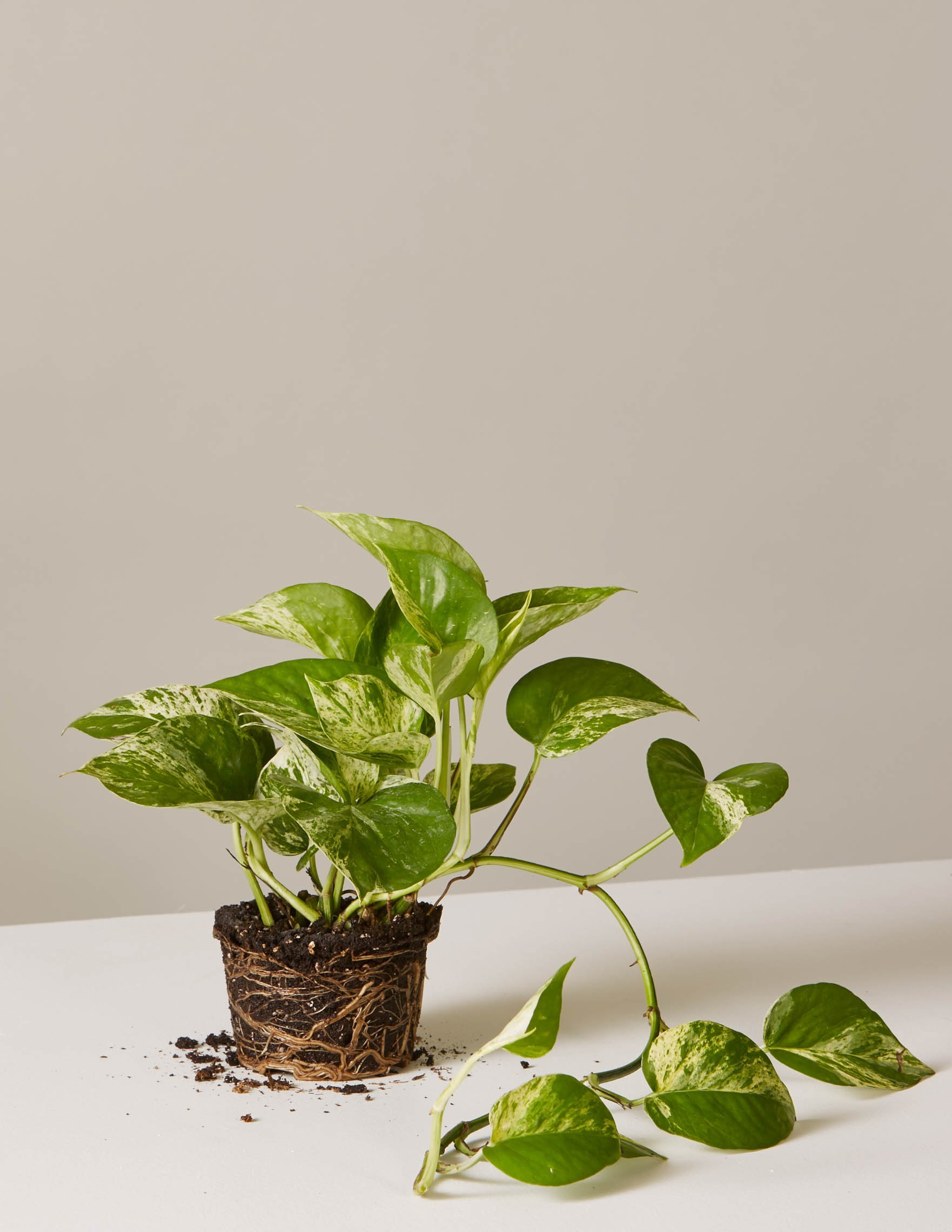 Image of Marble Pothos
