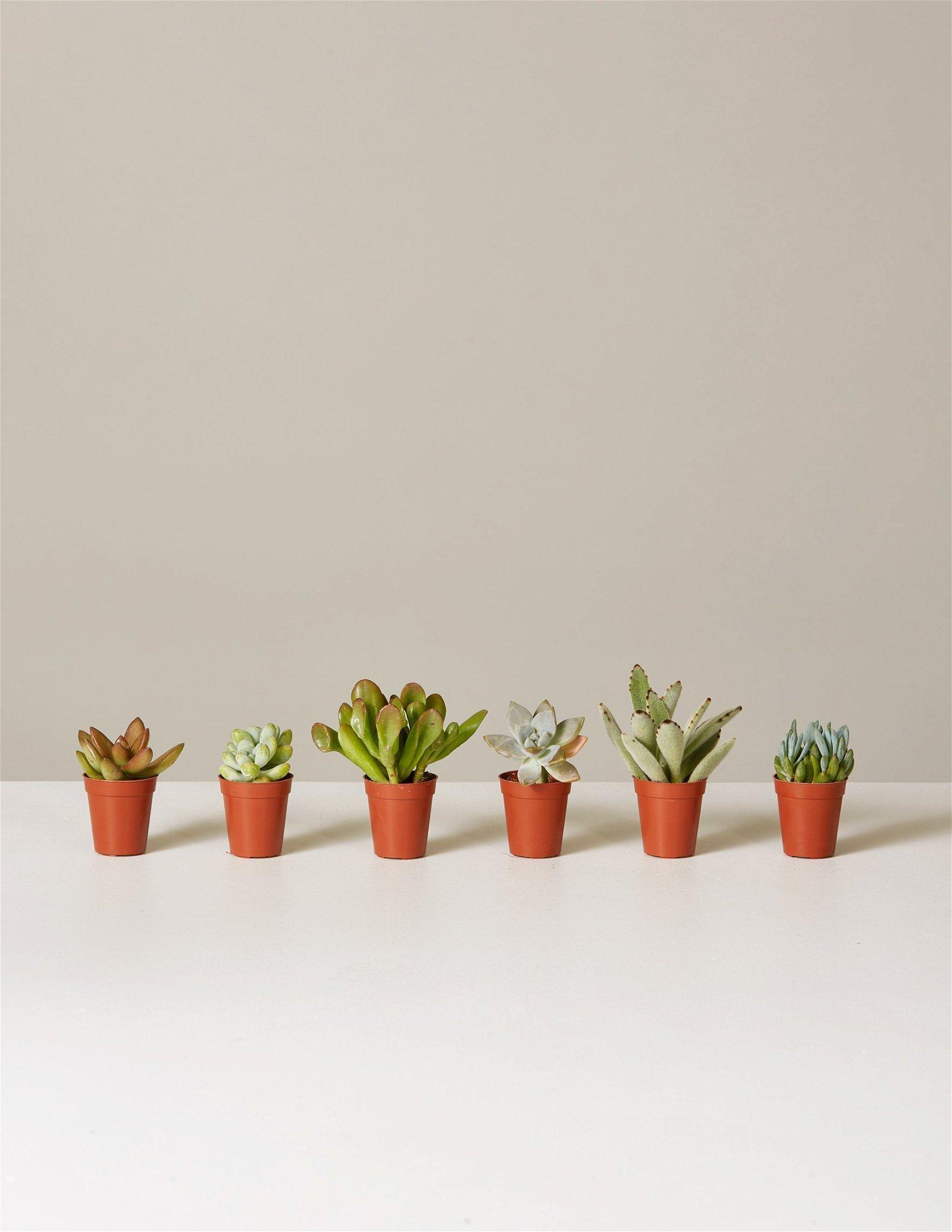 Image of Succulent Assortment