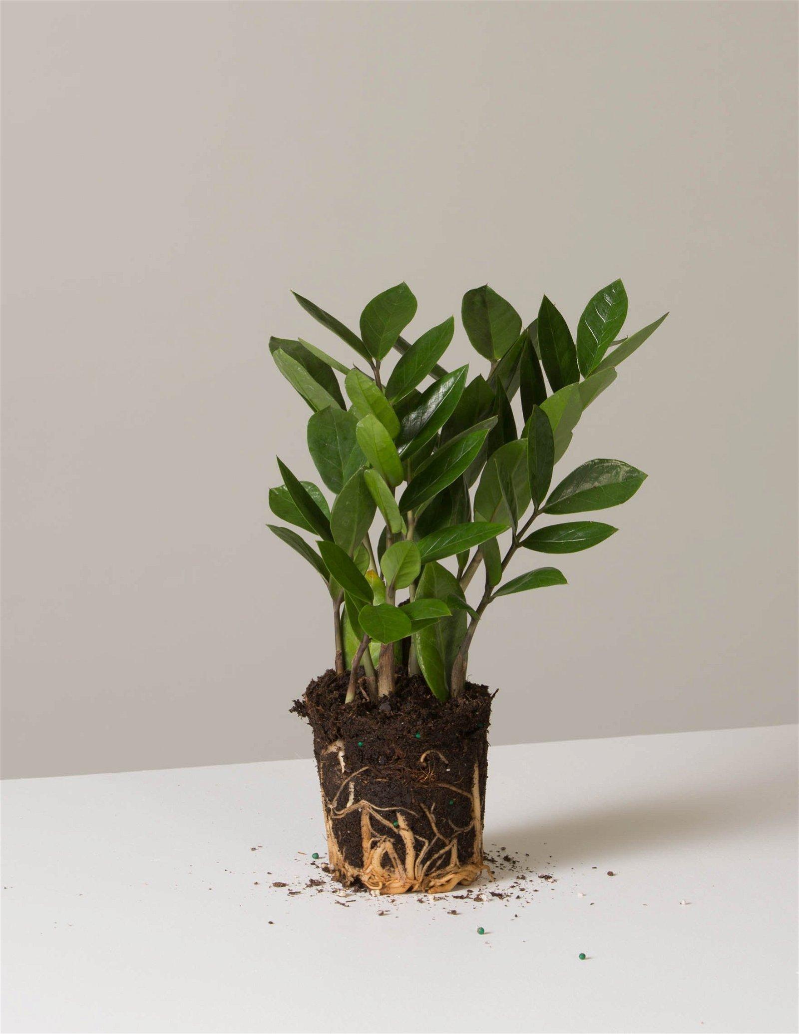 Image of ZZ Plant