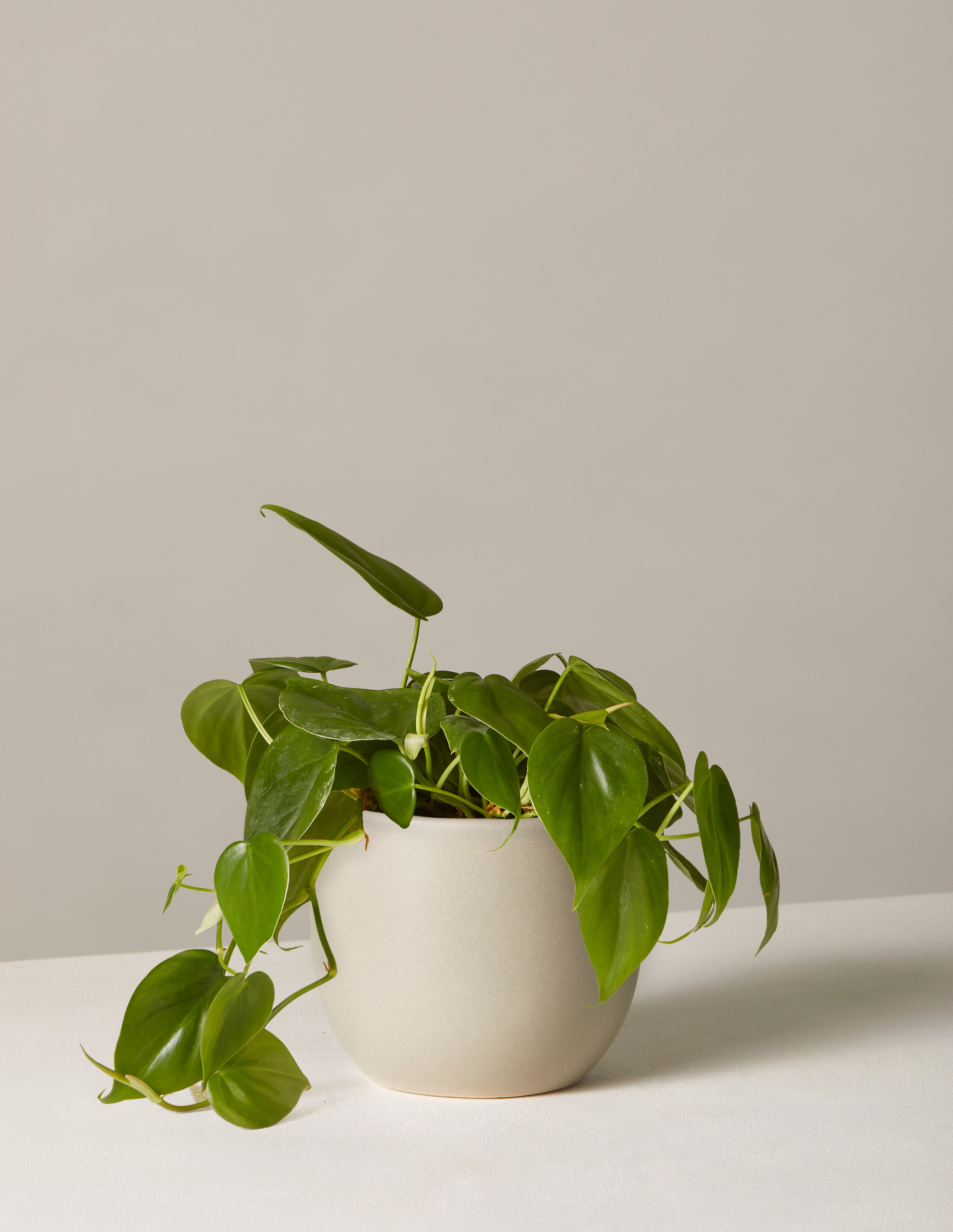Image of Philodendron Green