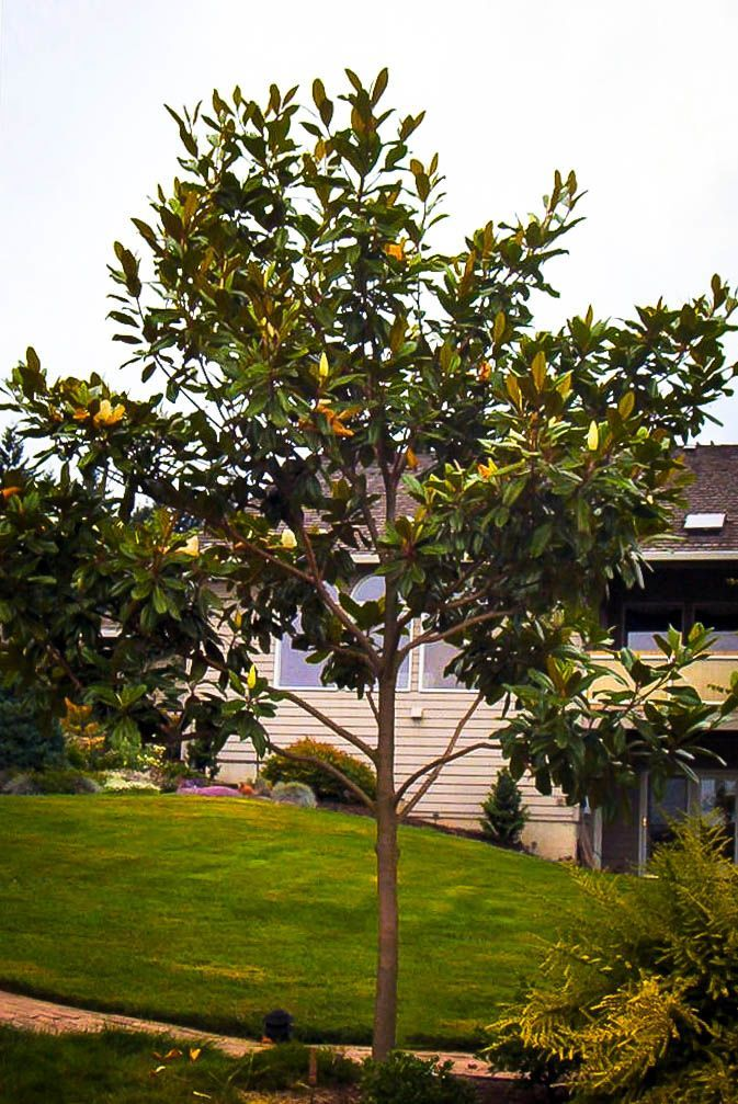 The Tree Center Magnolia Trees On Sale Now Milled