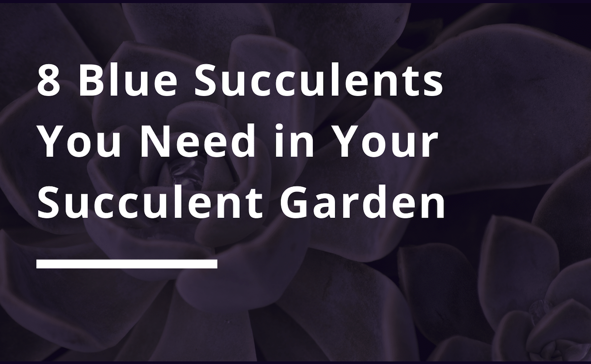 8 blue succulents you need in your succulent garden
