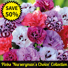 Pinks 'Nurseryman's Choice' Collection