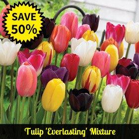Tulip 'Everlasting' Mixture