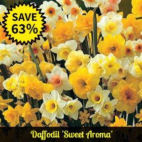Daffodil 'Sweet Aroma'