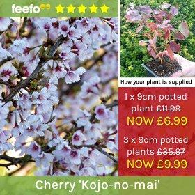 Cherry 'Kojo-no-mai'