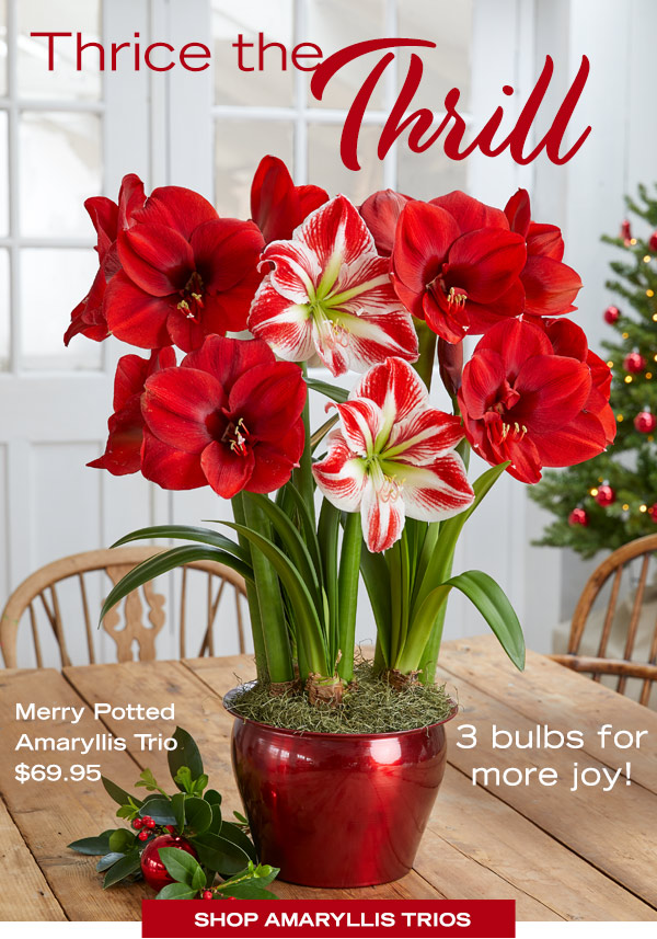 Thrice the Trill! 3 bulbs for more joy! Pictured: Merry Potted Amaryllis Trio, $69.95