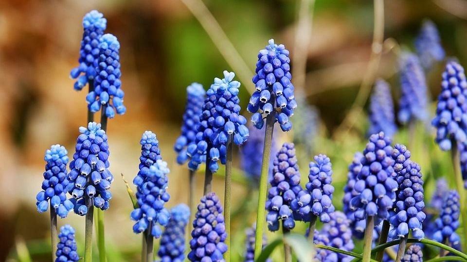 Blauwe druifjes: geniet van de lente in huis en tuin! Ruim 60% korting op 100 blauwe druifjes